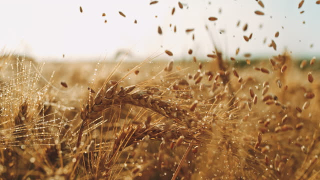 slo mo grains falling over wet ears of wheat in the field - ear of wheat stock videos and b-roll footage
