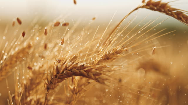 slo mo grains falling over wet ears of wheat - wheat stock videos & royalty-free footage