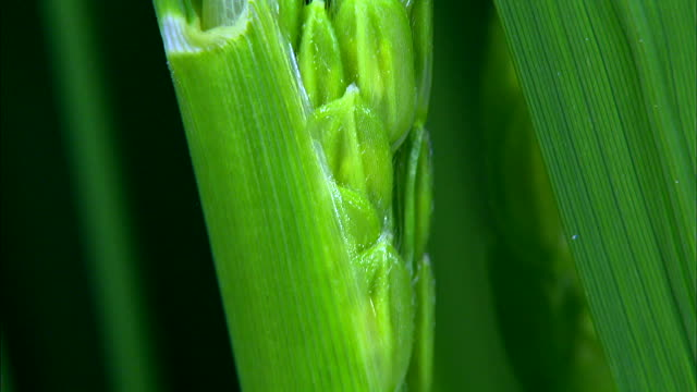 vidéos et rushes de grains growing up in the stem - tige d'une plante