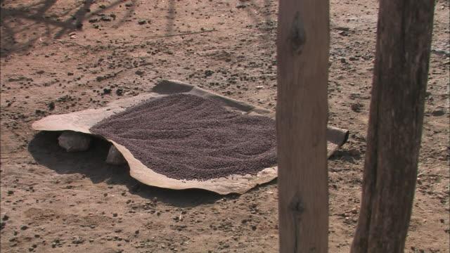 grains of sorghum dry in an ethiopian village. - sorghum stock videos & royalty-free footage