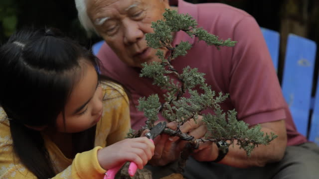 cu grand father and grand daughter (8-9) trimming bonsai tree together / los angeles, california, usa - enkelin stock-videos und b-roll-filmmaterial