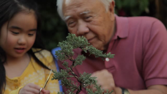 cu grand father and grand daughter (8-9) trimming bonsai tree together / los angeles, california, usa - grandchild stock videos & royalty-free footage