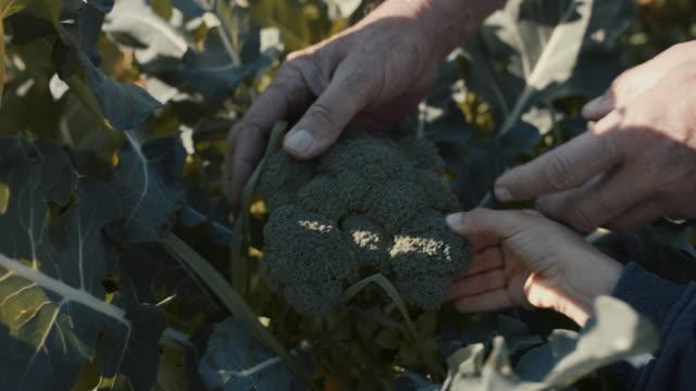 vídeos y material grabado en eventos de stock de grandfather and grandson picking broccoli together - huerto