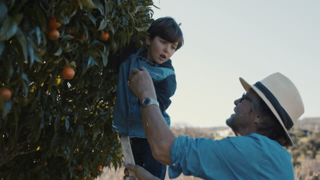 grandfather and grandson picking mandarins together - pensionierung stock-videos und b-roll-filmmaterial