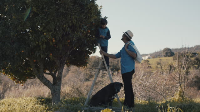grandfather and grandson picking mandarins together with dog - grandson stock videos & royalty-free footage