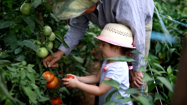 grandfather teaching his granddaughter tomato gardening - tomato stock videos & royalty-free footage