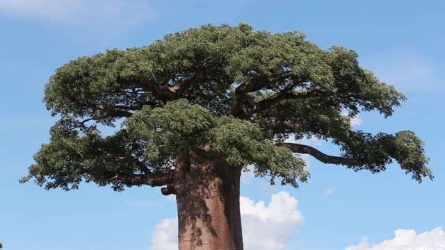 vídeos de stock, filmes e b-roll de grandidier's baobabs at the avenue of the baobabs, madagascar - large
