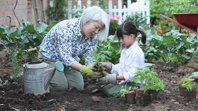 vídeos de stock e filmes b-roll de grandmother and granddaughter planting tomato seedlings in vegetable garden - jardinagem