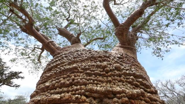 vídeos de stock, filmes e b-roll de grandmother baobab tree, oldest baobab in the world, madagascar - grande