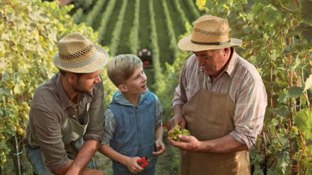 DS Grandpa, son and grandson trying grapes in vineyard