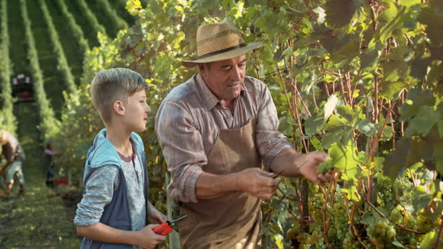 ds grandpa teaching grandson how to hand harvest grapes - continuity stock videos & royalty-free footage