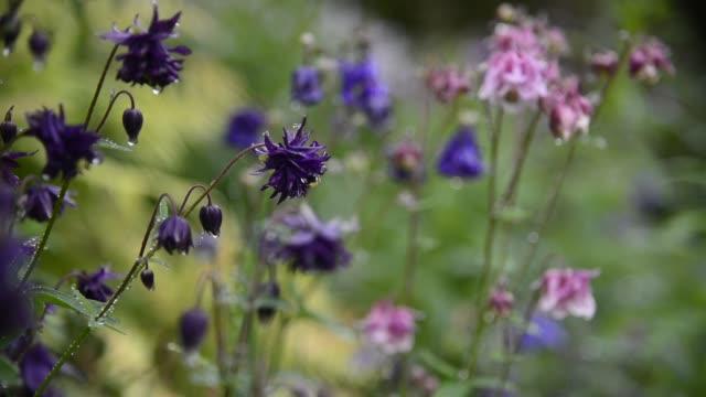 Grannys bonnets in a summer garden
