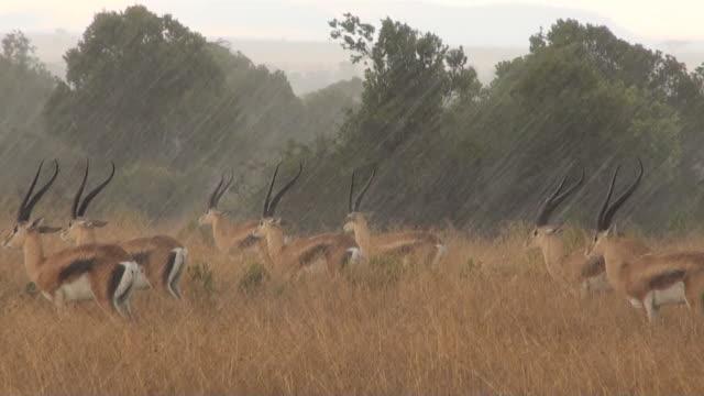 ms grant gazelles in heavy rain audio / masai mara, rift valley, kenya    - antilope stock-videos und b-roll-filmmaterial