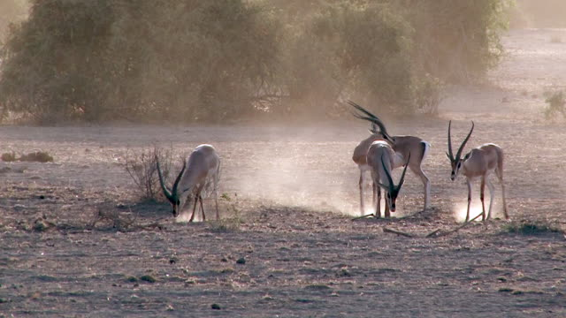 Grant's gazelle, Amboseli National Park, Kenya