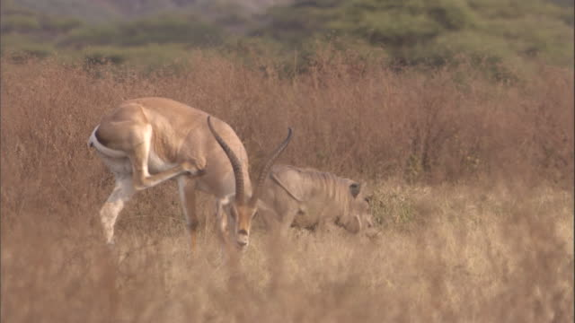 vídeos de stock, filmes e b-roll de a grant's gazelle and warthog feed side by side on the savanna. available in hd. - javali africano