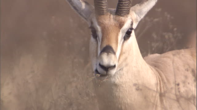 a grant's gazelle chews on grass. available in hd. - masticare video stock e b–roll