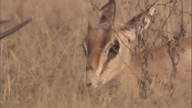 a grant's gazelle fawn sits in the tall grass of the savanna. available in hd. - fawn stock videos & royalty-free footage
