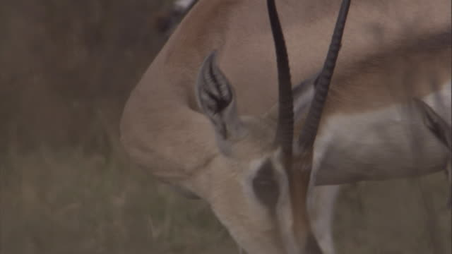 a grant's gazelle fawn suckles from its mother as she grooms. available in hd. - fawn stock videos & royalty-free footage