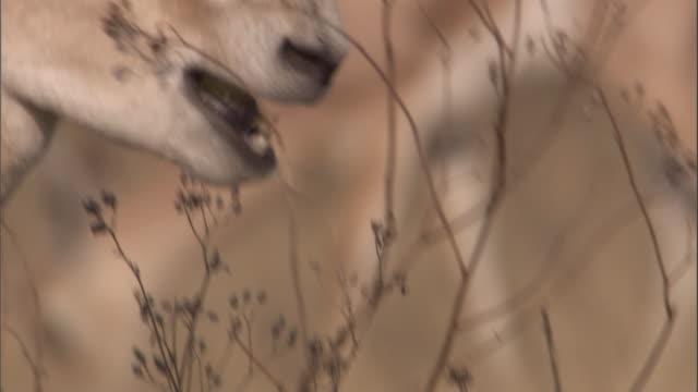 vidéos et rushes de a grant's gazelle grazes on shrubs in the serengeti. available in hd. - mâcher