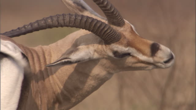 A Grant's gazelle scratches its rump with its horns. Available in HD.