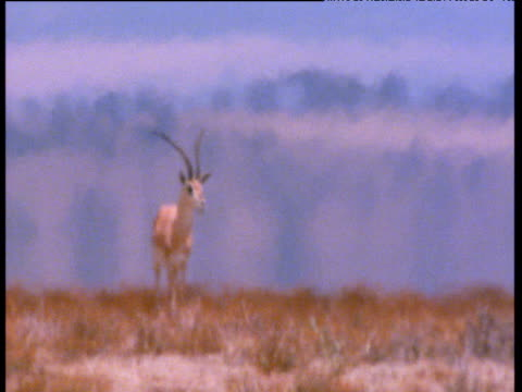 grant's gazelle stands in heat haze on savanna - horned stock videos & royalty-free footage