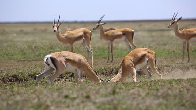 Grant's gazelles- males fighting 2