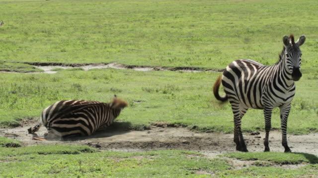 grant''s zebras (equus quagga) 2 zebras rolling and playing in a green grassland - シマウマ点の映像素材/bロール