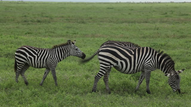 3 grant''s zebras (equus quagga) grazing in a green grassland - シマウマ点の映像素材/bロール