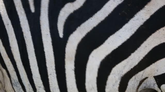grant's zebras in majete wildlife reserve in the shire valley, malawi, africa. - steppenzebra stock-videos und b-roll-filmmaterial