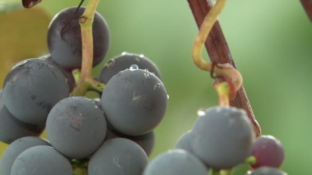 stockvideo's en b-roll-footage met grape and vine close-up - druif