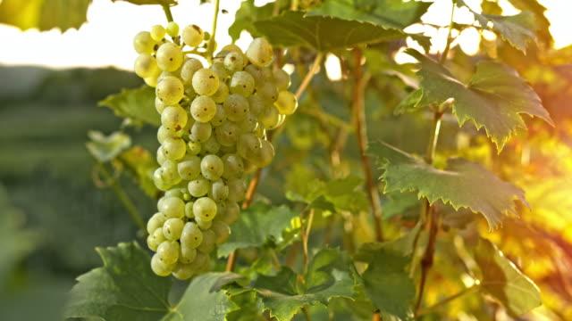 SLO MO druif cluster op de wijnstok bij zonsondergang