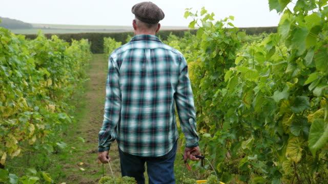 vidéos et rushes de grape farmer walks with buckets filled with grapes through vineyard. - plante grimpante