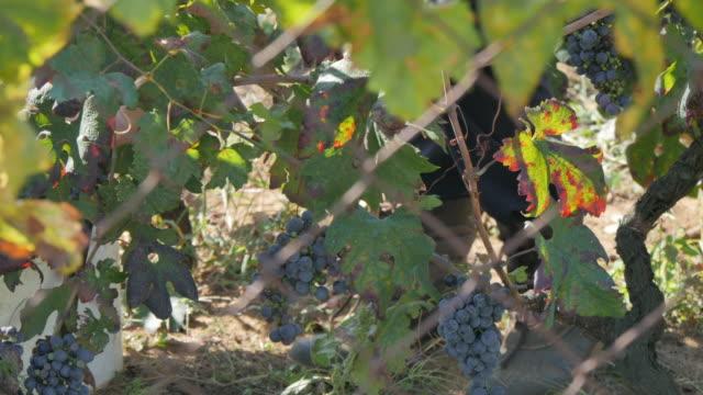 vídeos y material grabado en eventos de stock de grape harvest at lumbarda, korcula island, dalmatia, croatia, europe - cultura croata