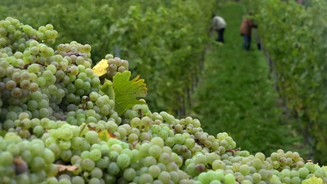 grape harvest in vineyard in saarburg, saar valley, germany, europe - grape stock videos & royalty-free footage