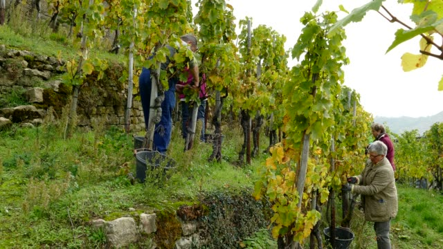 grape harvest in vineyard in wormeldange, moselle valley, luxembourg, europe - traube stock-videos und b-roll-filmmaterial