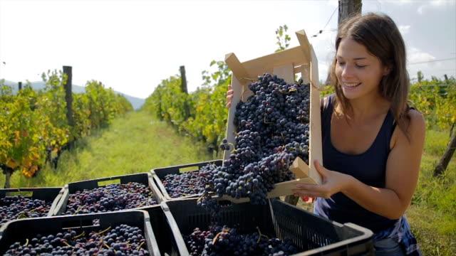grape harvest season.Young woman unloading crate full of grapes in vineyard