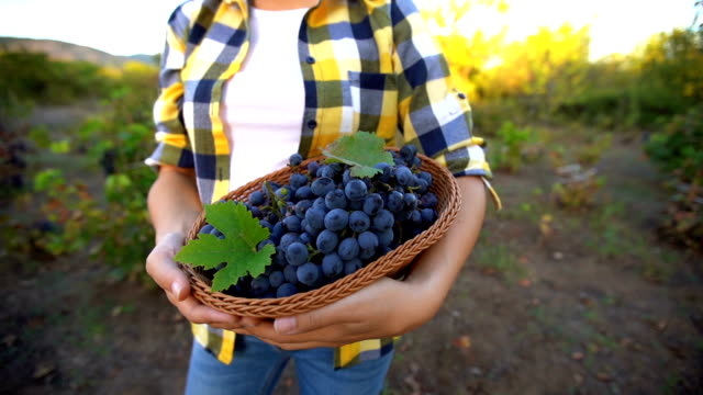 grape harvester in vineyard - grape leaf stock videos and b-roll footage