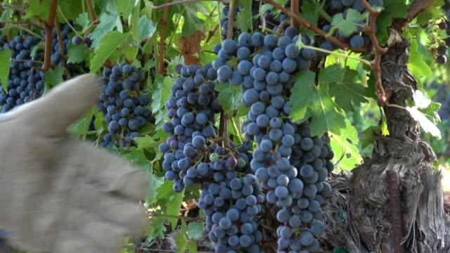 Grape Harvesting Activity.