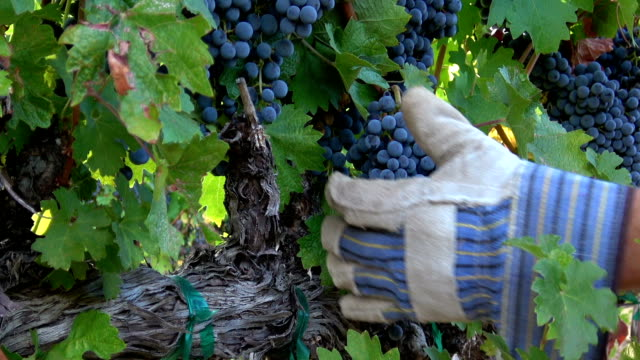 grape harvesting activity. - winemaking stock videos & royalty-free footage