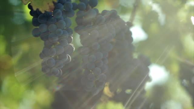 grape harvesting at winery. - ブドウ点の映像素材/bロール