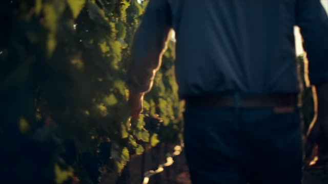 Grape Harvesting at winery.