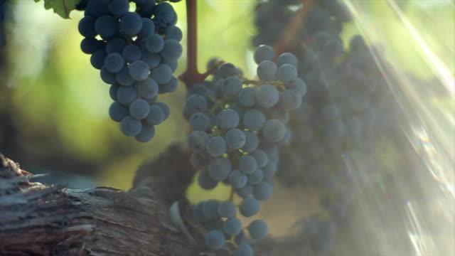 Grape Harvesting at winery.