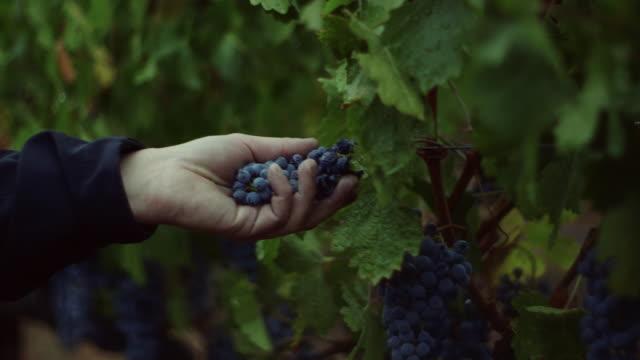 vídeos de stock e filmes b-roll de grape harvesting at winery. - ramo parte de uma planta