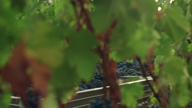 grape harvesting at winery. - grape stock videos & royalty-free footage