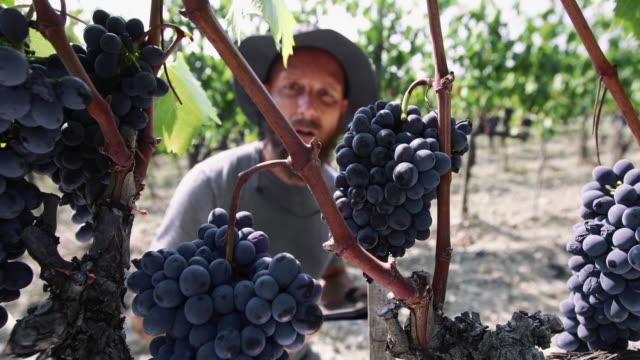 vídeos de stock e filmes b-roll de grape harvesting for wine making storytelling: enologist at work in tuscany - ramo parte de uma planta