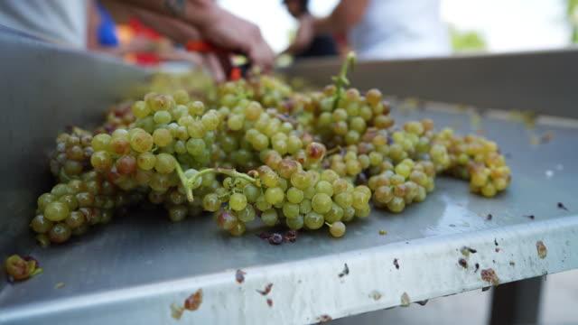 vídeos de stock e filmes b-roll de grape harvesting for wine making storytelling: farm production line - ramo parte de uma planta