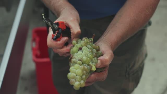vídeos de stock e filmes b-roll de grape harvesting for wine making storytelling: italian vendemmia in tuscany - ramo parte de uma planta