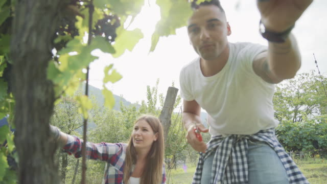 vendemmia per la narrazione della vinificazione: vendemmia italiana in toscana - young men video stock e b–roll