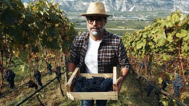 vídeos de stock e filmes b-roll de grape harvesting for wine making storytelling: italian vendemmia in trentino - uva