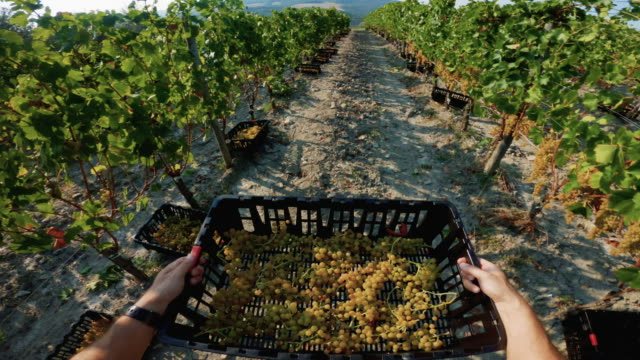 grape harvesting for wine making storytelling: pov work action - picking up stock videos & royalty-free footage